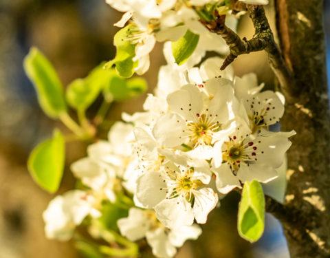 Birnbaumblüte im Mostviertel